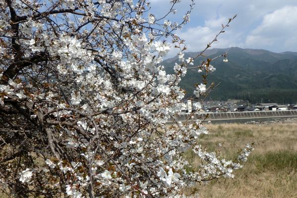 下呂市 桜