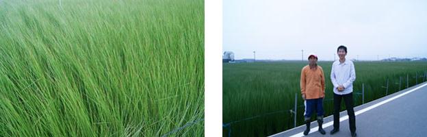 熊本県 八代市 い草
